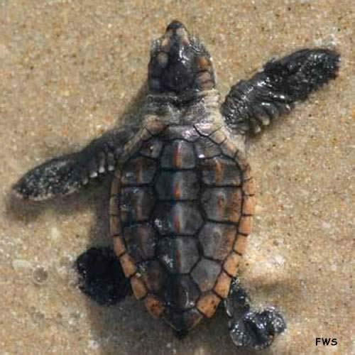 archie carr turtle