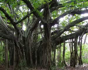 large fig tree at hugh taylor birch state park florida