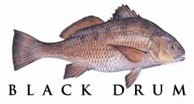 Species of saltwater fish that can be found in the waters for Saltwater drum fish