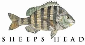 Species of saltwater fish that can be found in the waters ...Saltwater Sheepshead