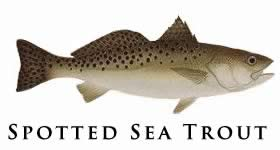 pspotted sea trout