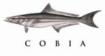 cobia recipes